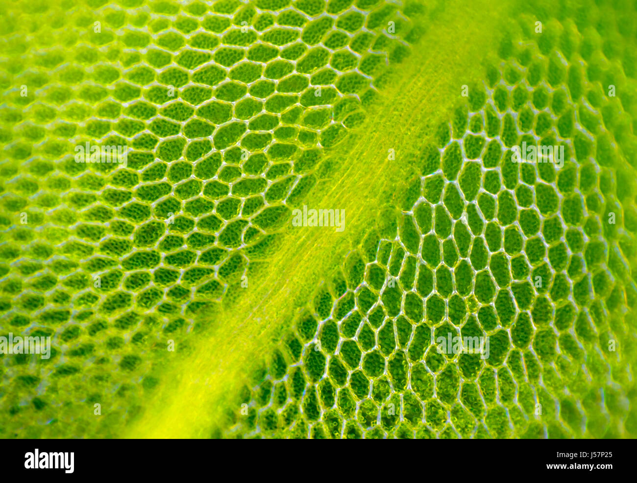 plant cell chloroplast stock photos plant cell. Black Bedroom Furniture Sets. Home Design Ideas