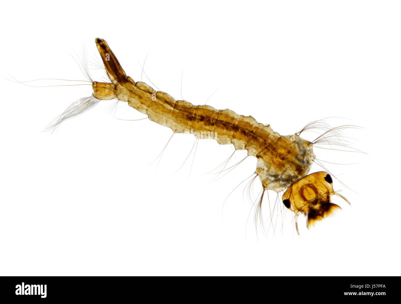 Microscopic view of Mosquito (Aedes) larva. Brightfield illumination. - Stock Image