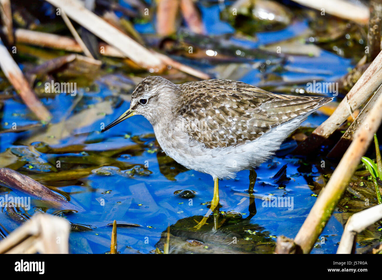 Wood Sandpiper - Stock Image