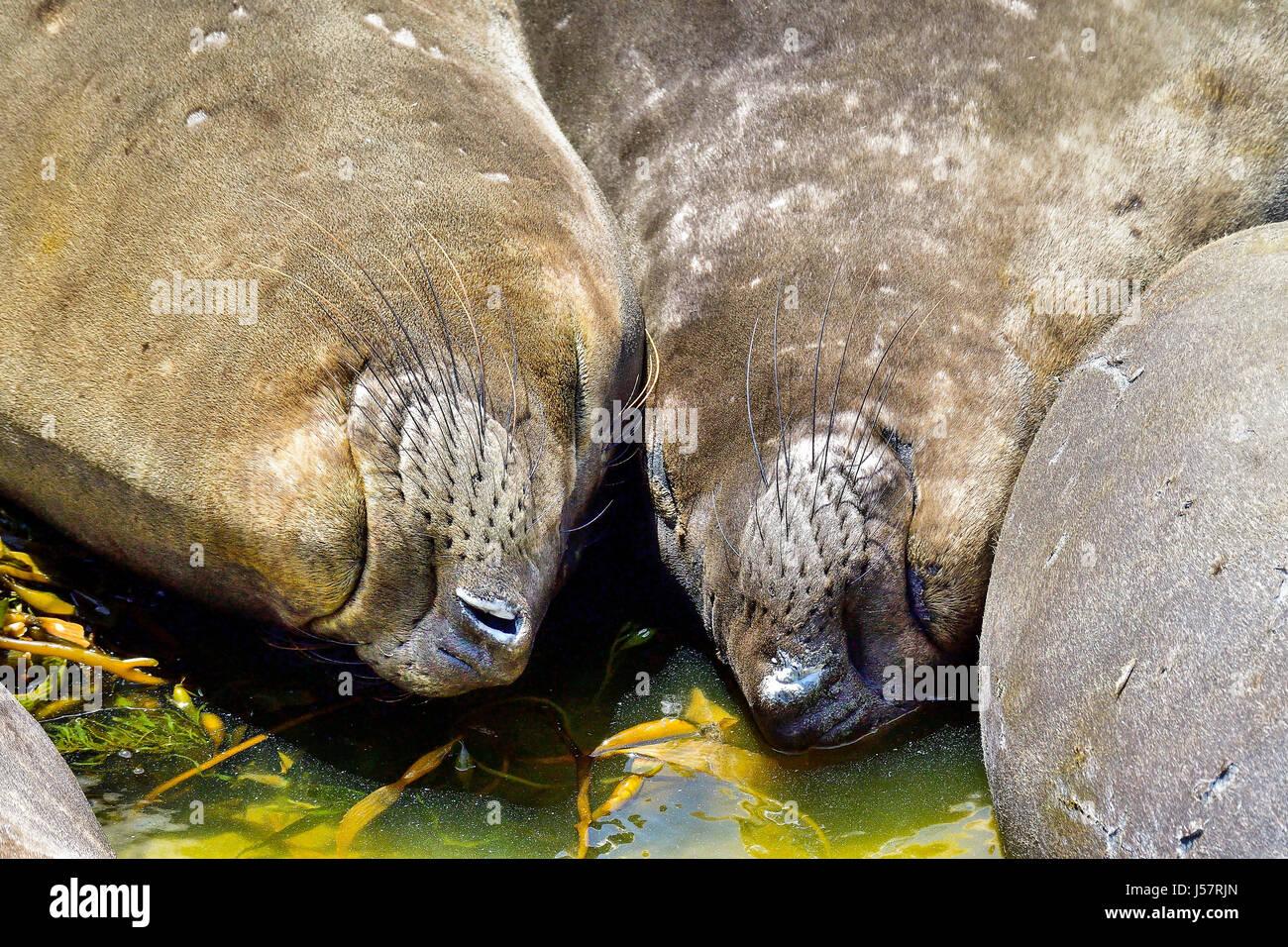 Northern Elephant Seal - Stock Image