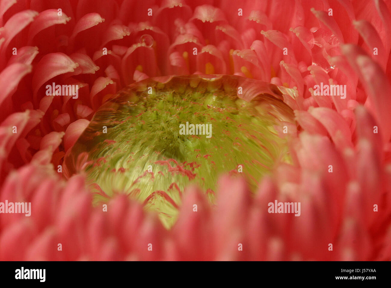macro close-up macro admission close up view feeling emotions flower plant rose Stock Photo