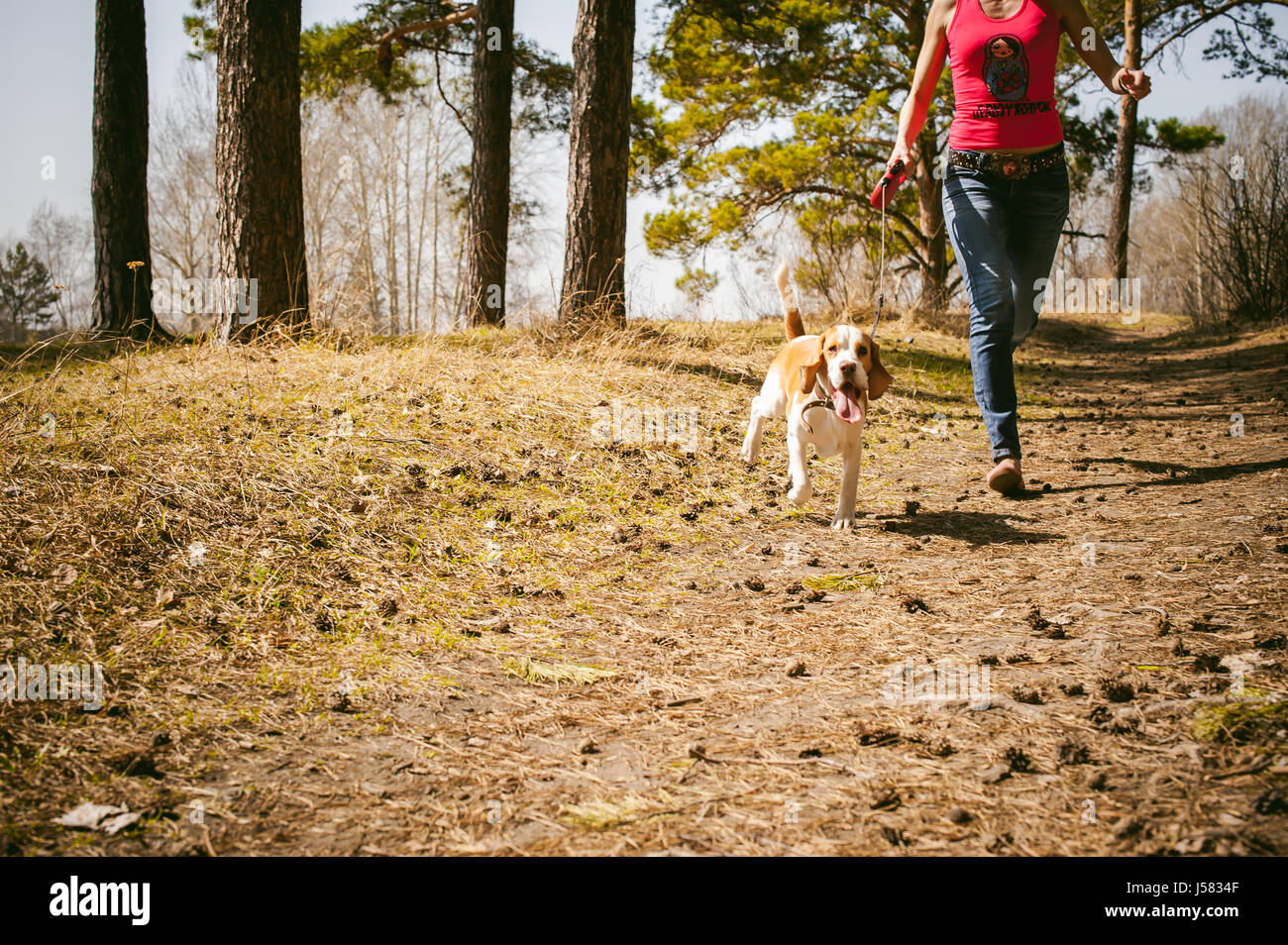 Young pet dog breeds beagle walking in the park outdoors. The girl carefully walks the puppy on a leash, plays and - Stock Image