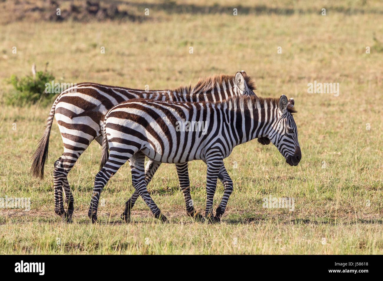 Zebras walking on the African savannah - Stock Image