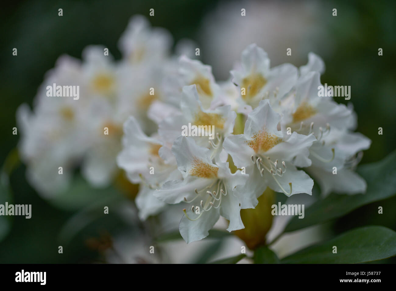 White flowers with yellow centers stock photos white flowers with rhodednron cunninghams white flowers with yellow centers close up stock image mightylinksfo