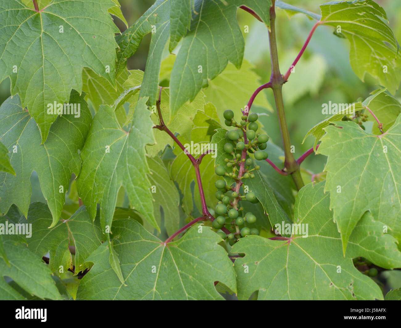 young grapevine with leaves - Vitis vinifera - Stock Image