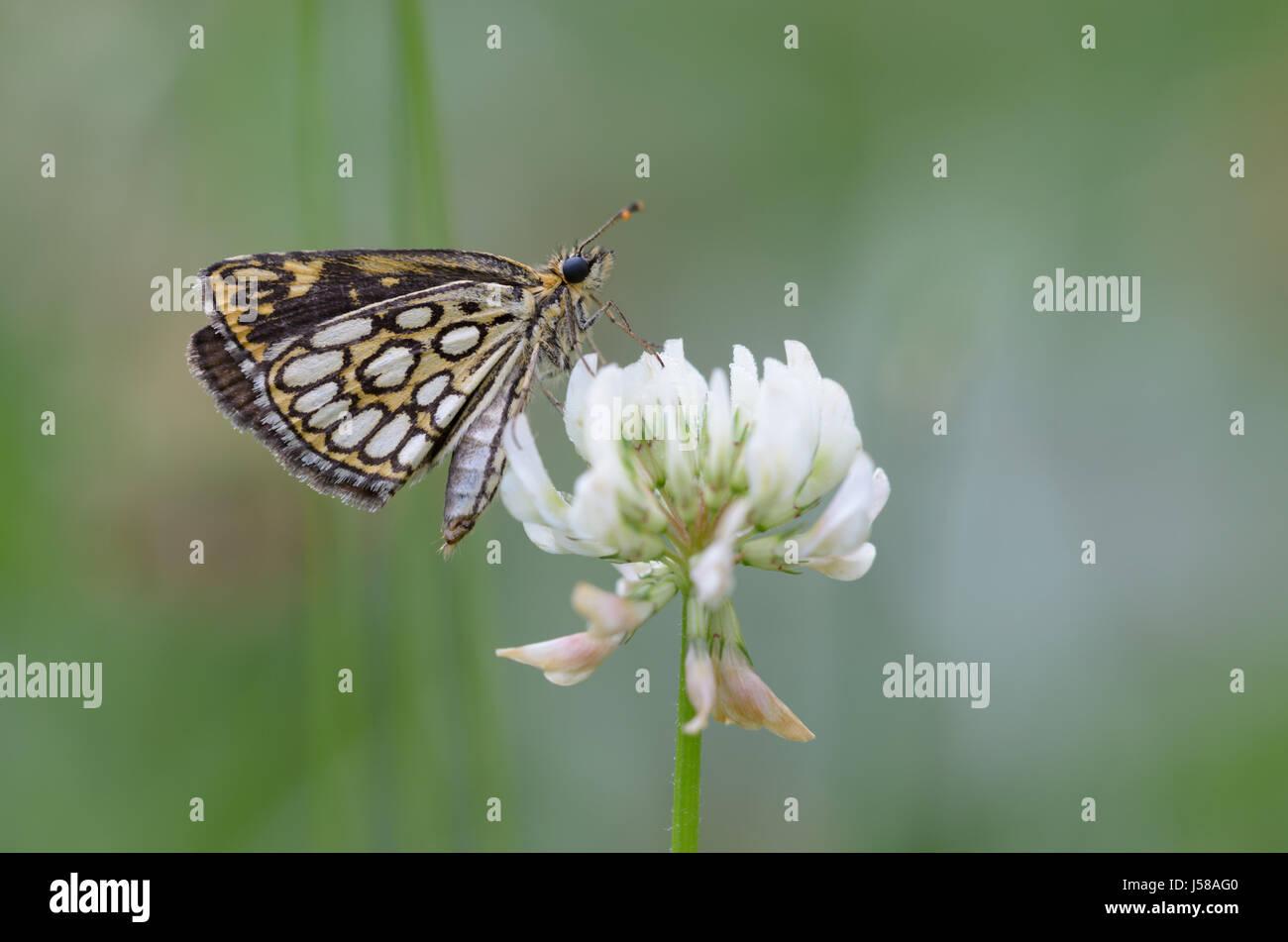 Large chequered skipper on white clover - Heteropterus morpheus - Stock Image