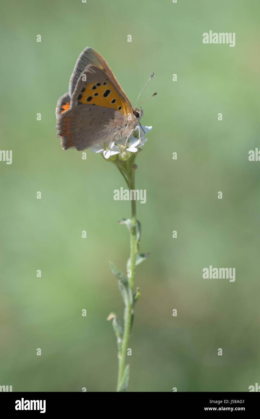 Sooty Copper, Lycaena tityrus - Stock Image
