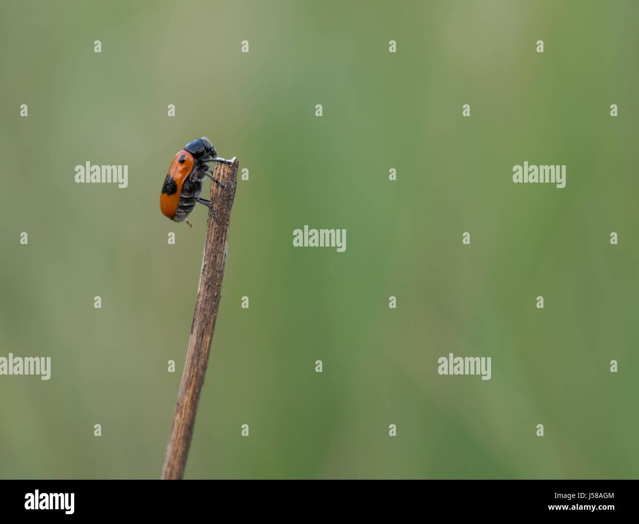 Short-horned leaf beetle - Clytra laeviuscula - Stock Image
