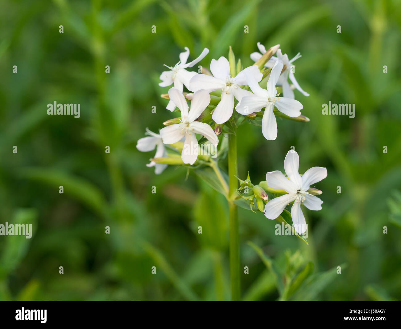Night-flowering catchfly - Silene noctiflora - Stock Image
