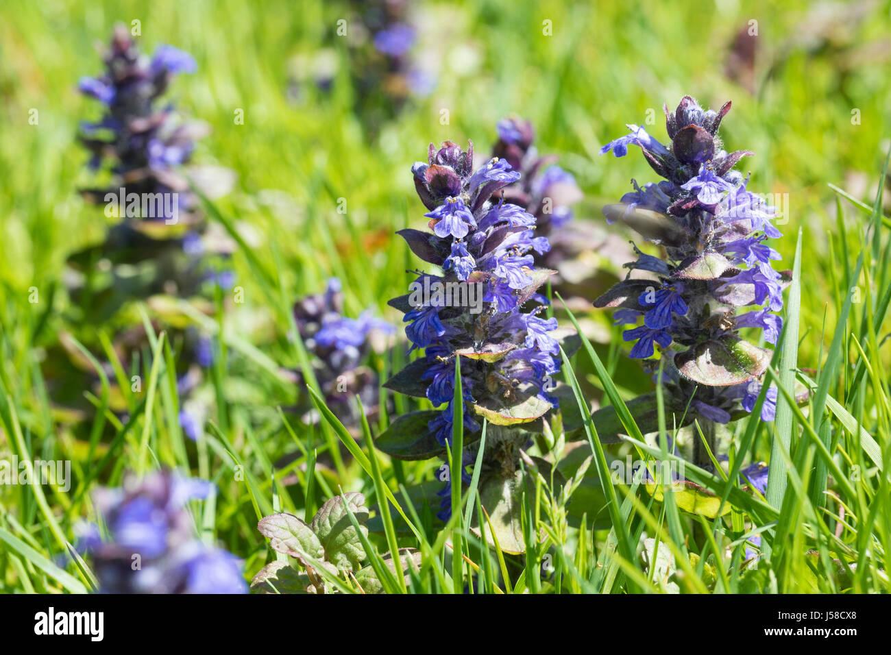 Kriechender Günsel, Ajuga reptans, bugle, blue bugle, bugleherb, bugleweed, carpetweed, carpet bungleweed, common Stock Photo
