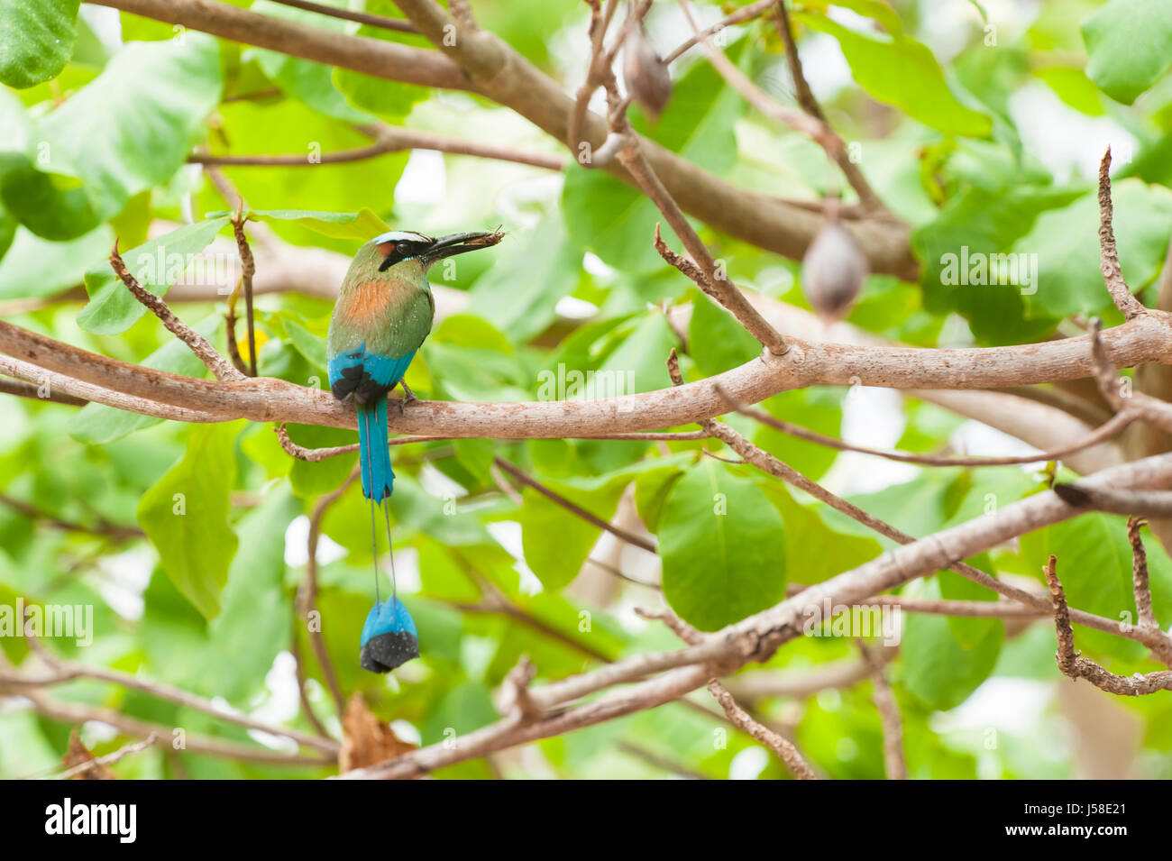 Turquoise browed mot mot sits in an almond tree holding an insect - Stock Image