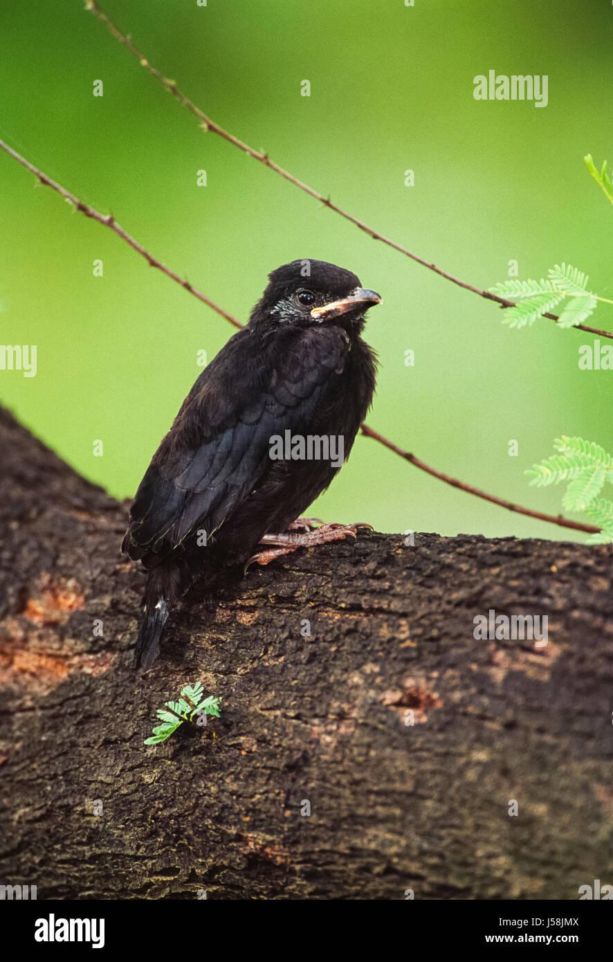 Black Drongo fledgling, Dicrurus macrocercus,perched on branch, Keoladeo Ghana National Park, Bharatpur, Rajasthan, - Stock Image