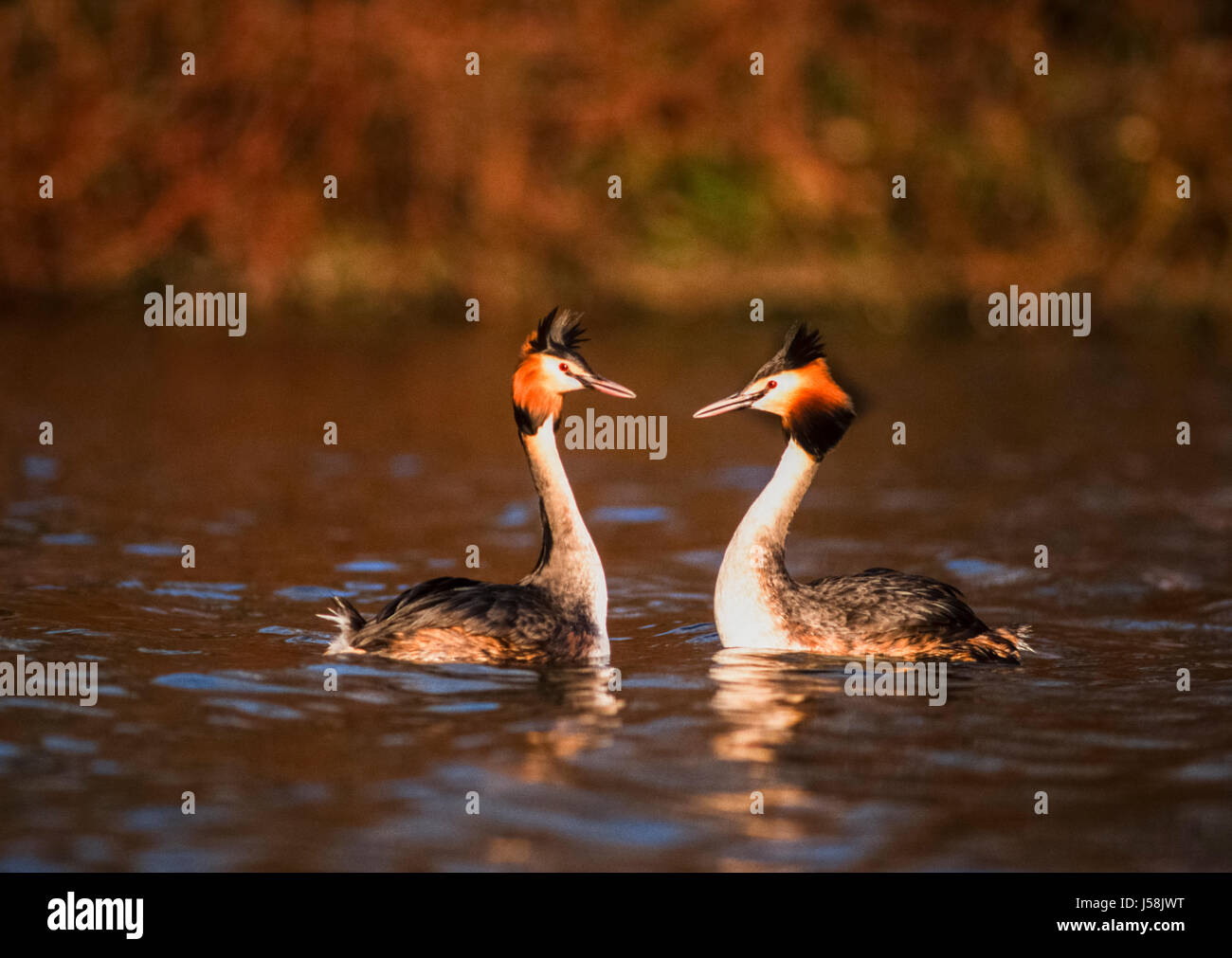 Great Crested Grebe, Podiceps cristatus, Regents Park, London, United Kingdom Stock Photo