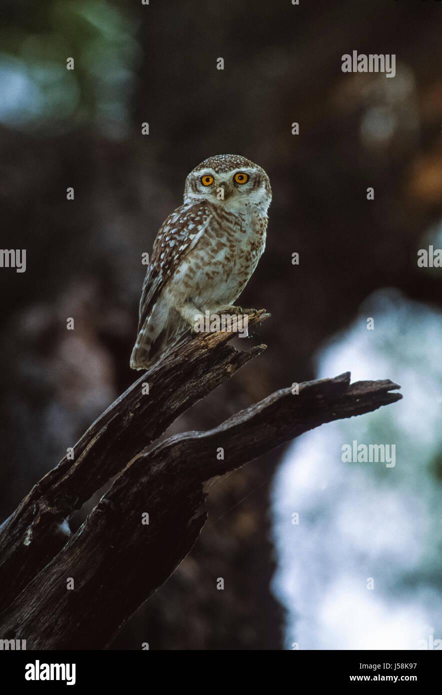 Spotted Owlet, Athene brama, Keoladeo Ghana National Park, Bharatpur, Rajasthan, India - Stock Image