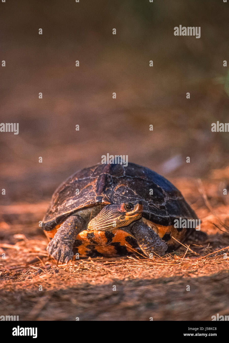 Indian roofed turtle, (Kachuga tecta), Keoladeo Ghana National Park, Bharatpur, Rajasthan, India - Stock Image