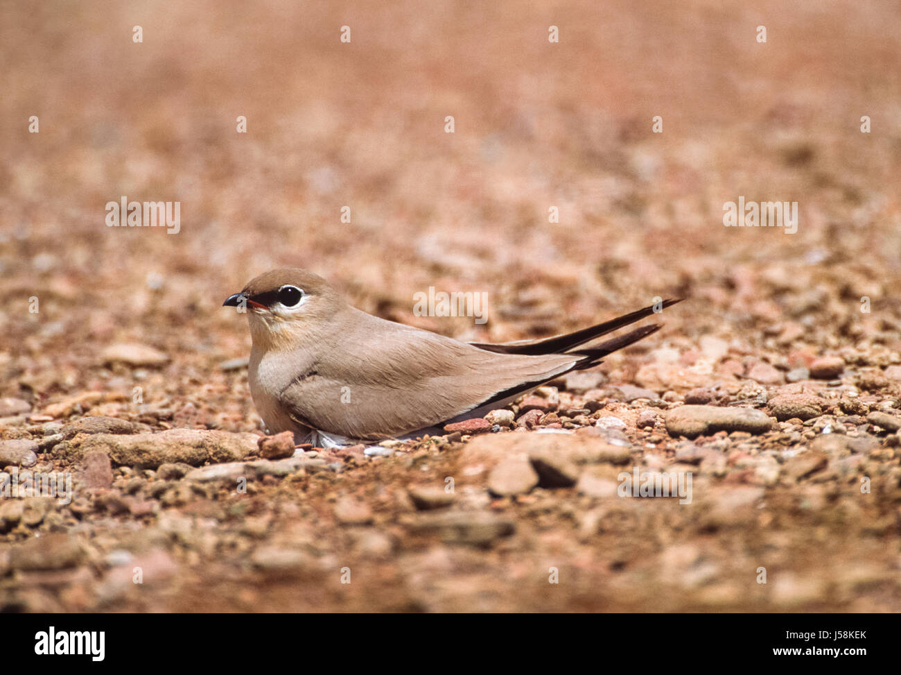 Small Indian Pratincole, Little Pratincole or Small Pratincole, (Gladiola lacteal), on ground nest, Rajasthan, India - Stock Image