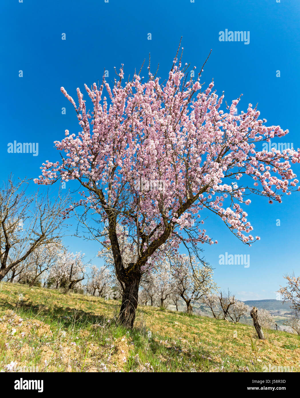 Almond trees in blossom. Prunus amygdalus. Near Arenas del Rey, Granada Province, Andalusia, southern Spain. - Stock Image