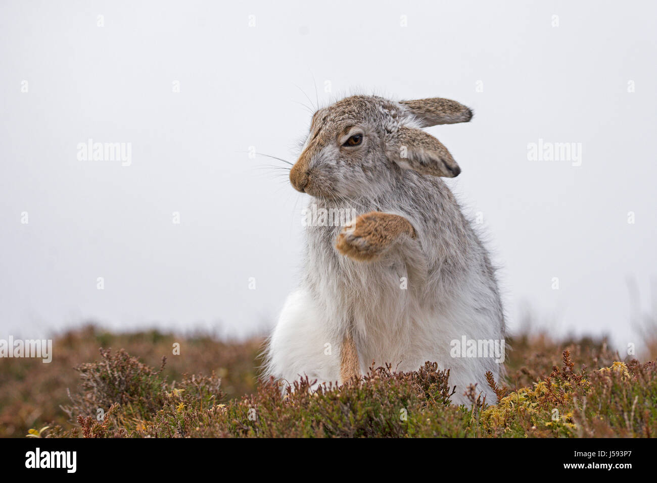 Mountain hare in winter coat grooming (Lepus timidus) - Stock Image