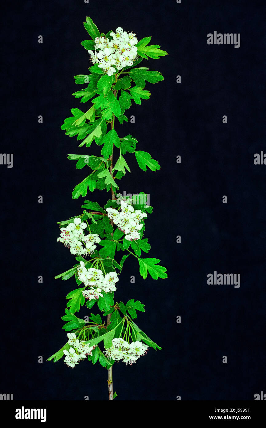 Green leaves and white flowers on the stem of a hawthorn bush in spring. - Stock Image