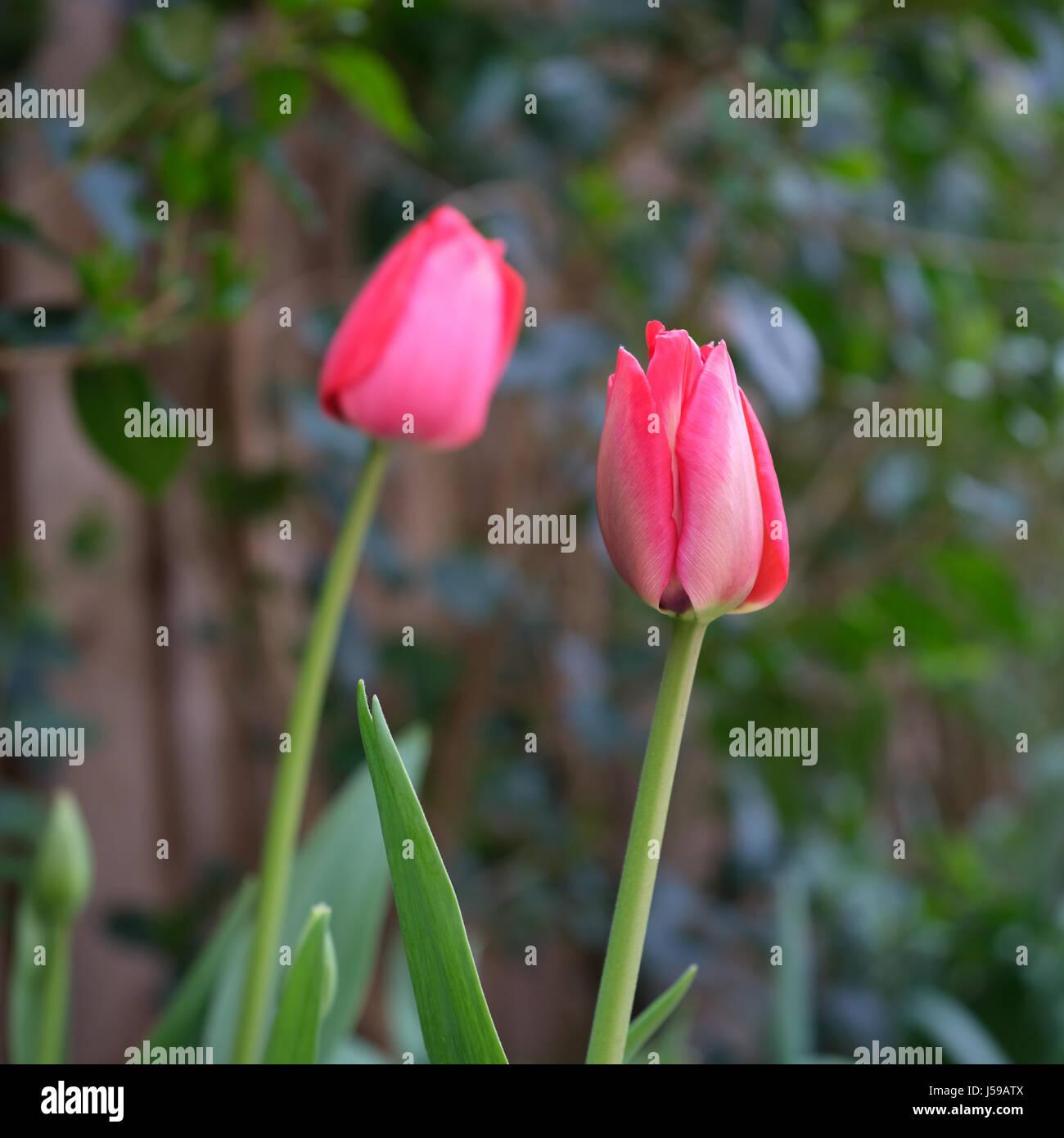 Pink tulip portrait - Stock Image