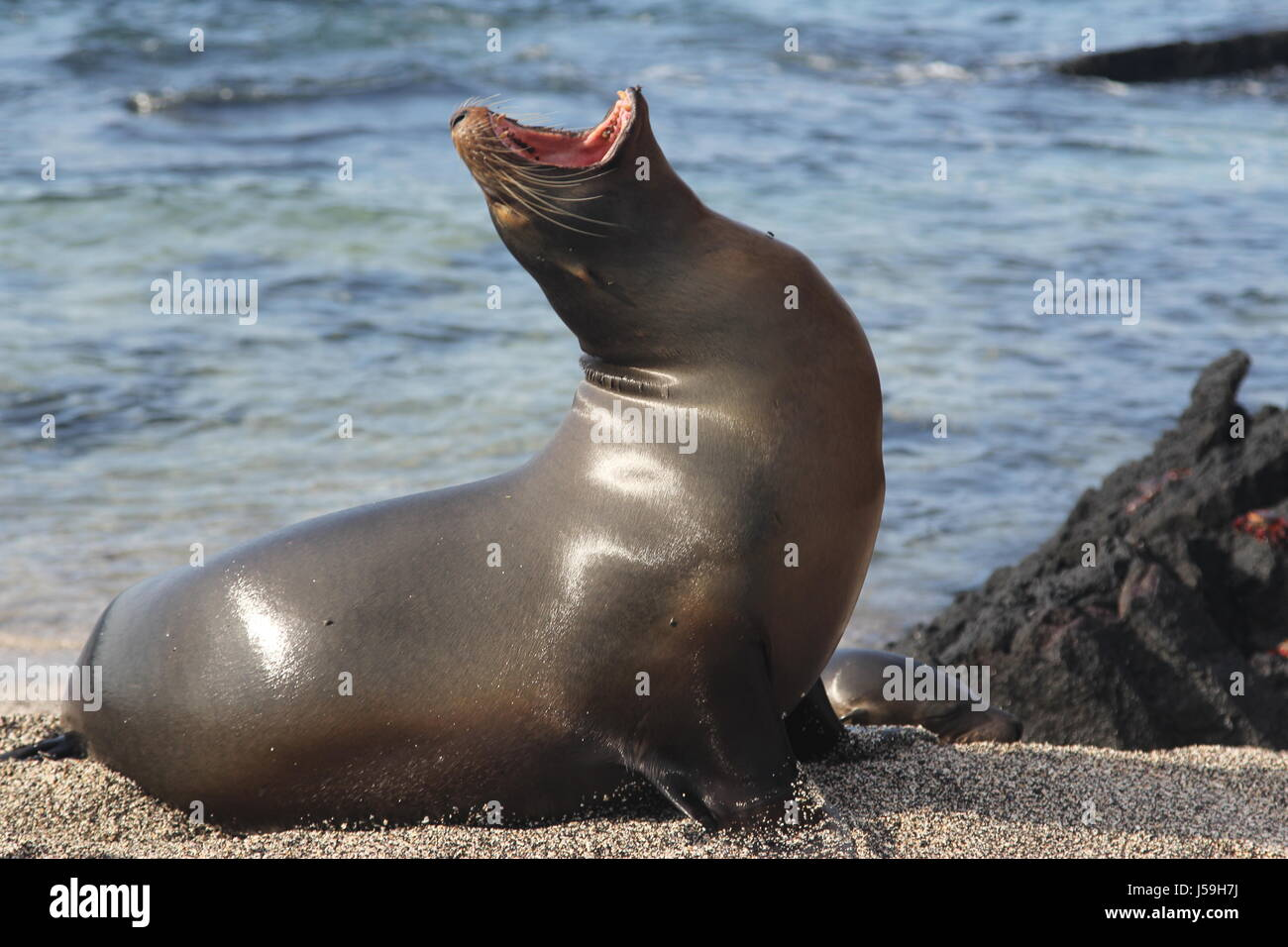 Sea Lion Yawning - Stock Image