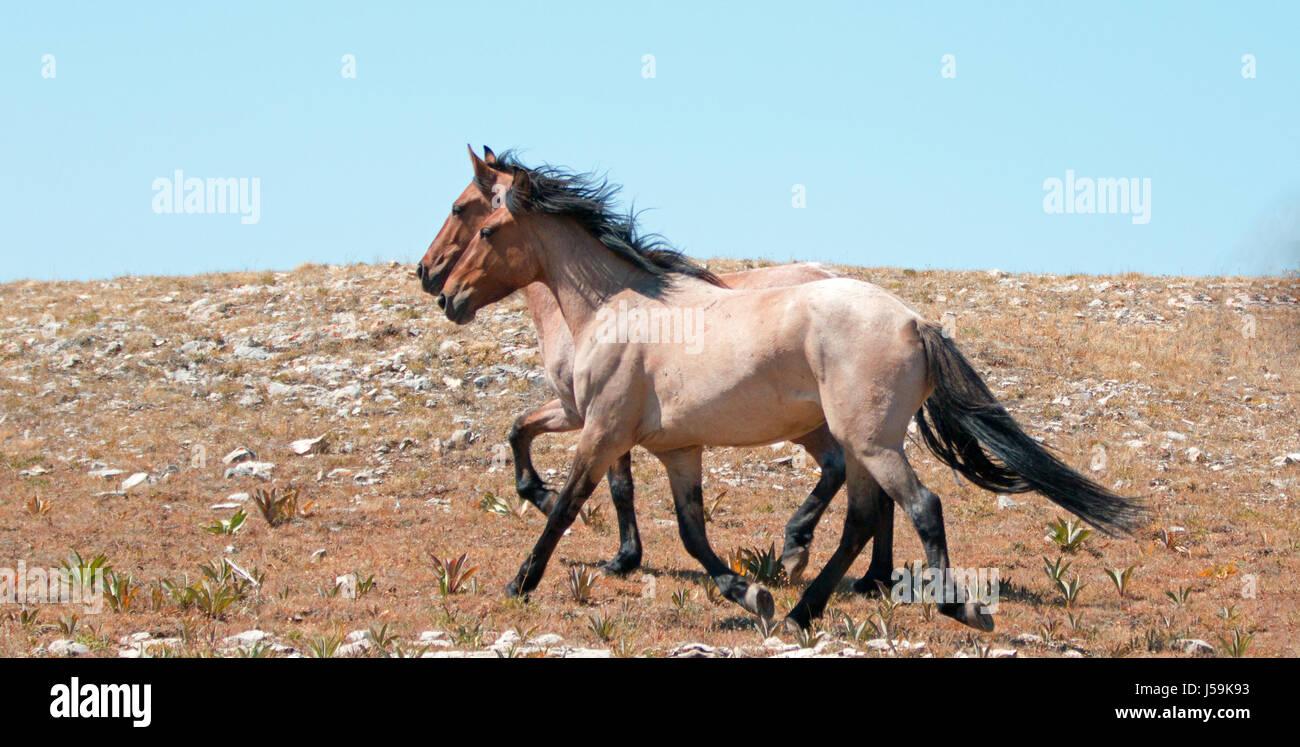 Wild Horse Herd Of Mustangs Running In The Pryor Mountains Of Montana Stock Photo Alamy