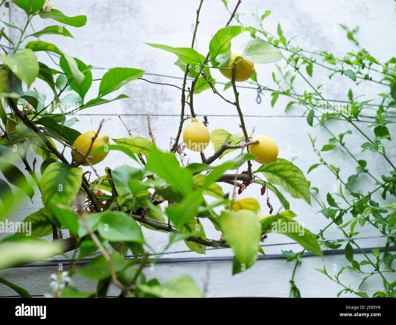 Like topic fruits basket lemon threesome