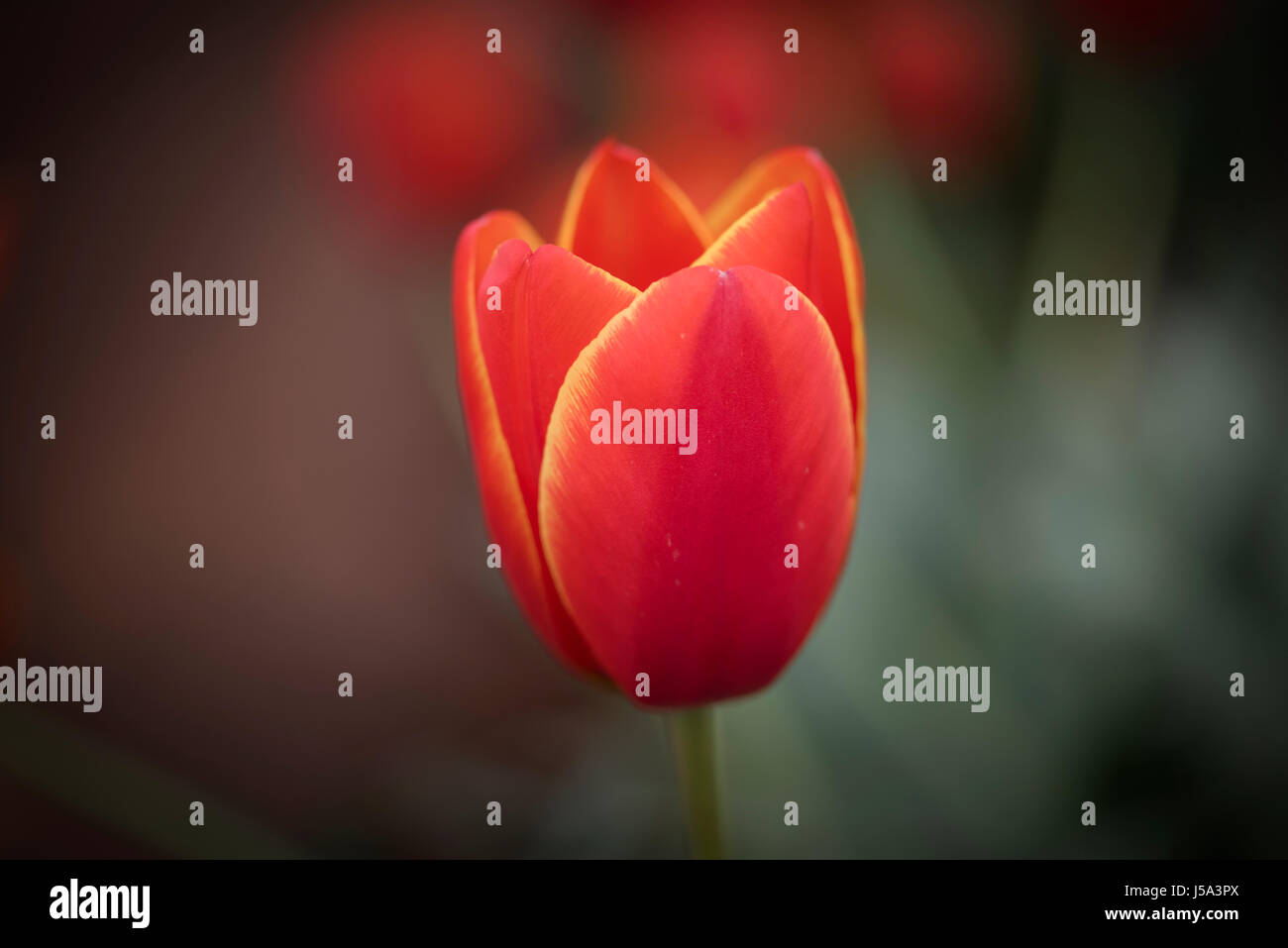 A close-up macro view of a bright red colored tulip with yellow colored edges. Two toned tulip. Dual color tulip. - Stock Image