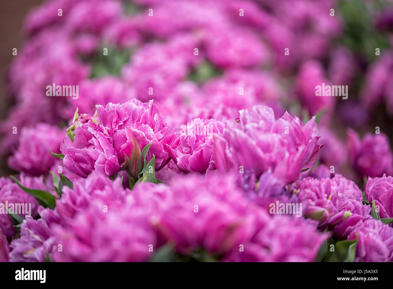 Close-up of a long bed bright purple magenta colored carnations - Stock Image