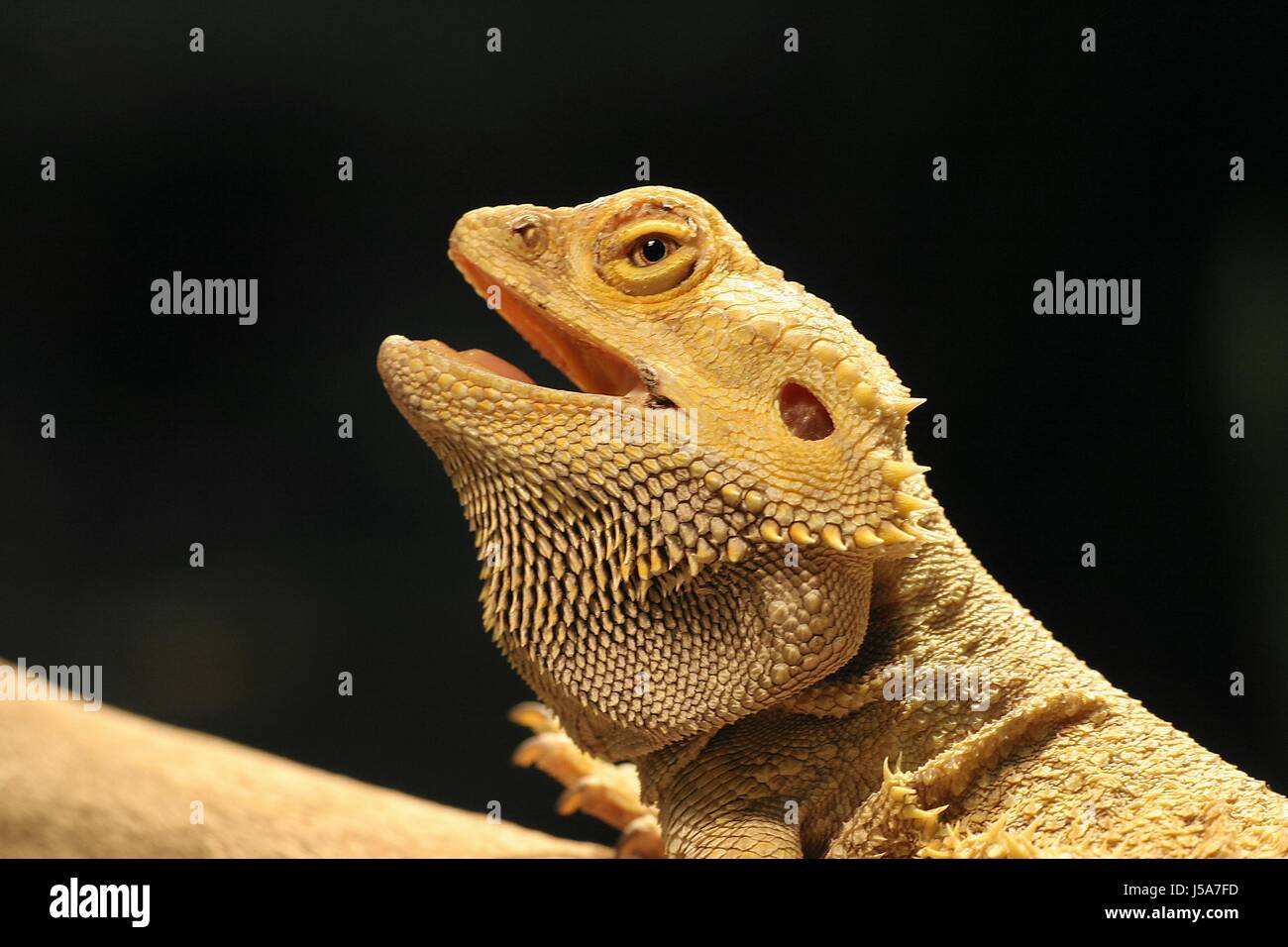 saurian,prickle,hovel,reptiles,archaic,bartagame,echsen,agamenstudie - Stock Image
