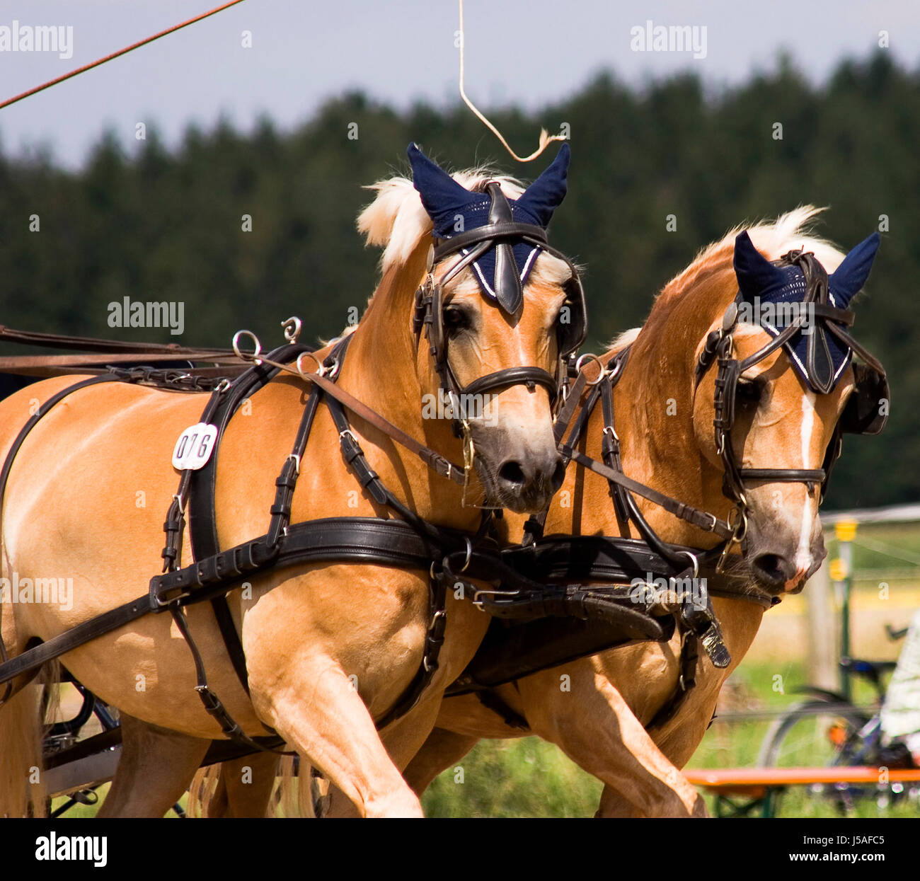 horse summer summerly horses harness riding haflinger horse whip snaffle - Stock Image
