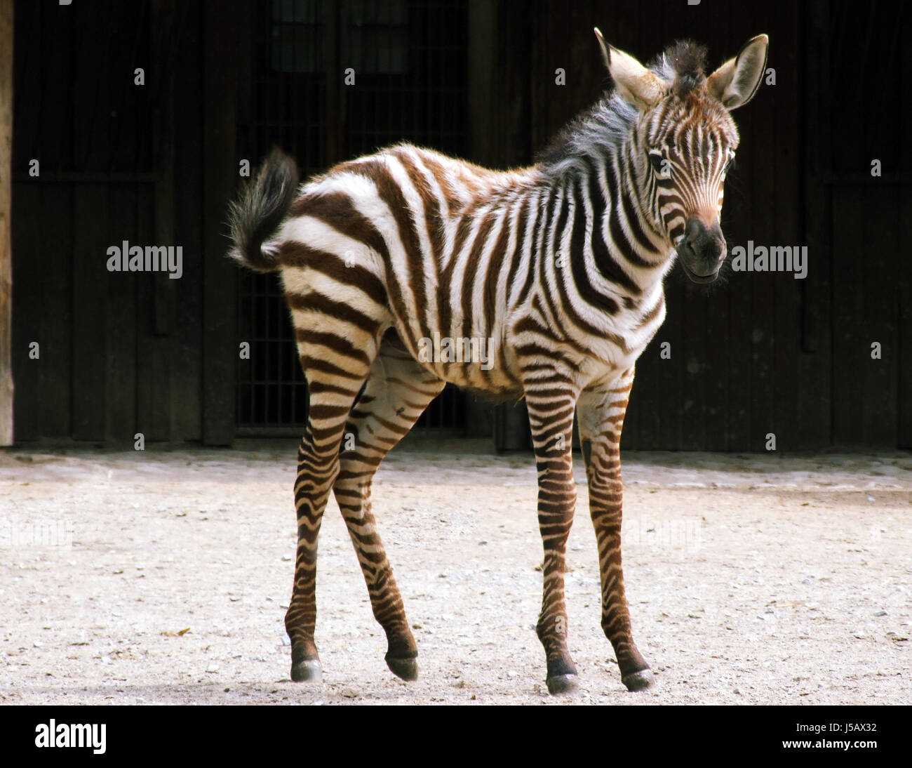 animal zebra horse foal young animal maddening pert coquettish cute young - Stock Image