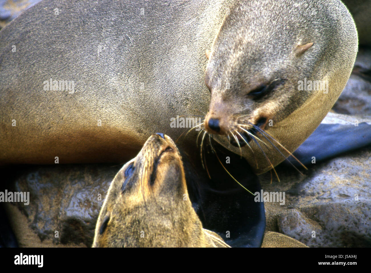 namibia seal motherly love liaison familiarity pelzrobbe meeressuger - Stock Image
