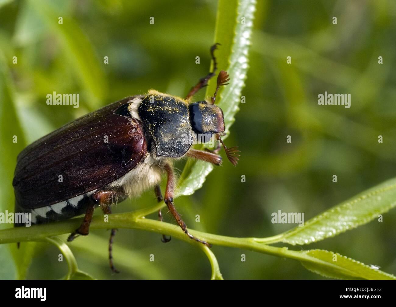 May Beetle Flies Stock Photos & May Beetle Flies Stock
