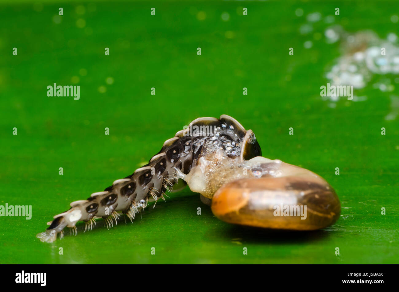 firefly beetle larvae feeding on snail - Stock Image