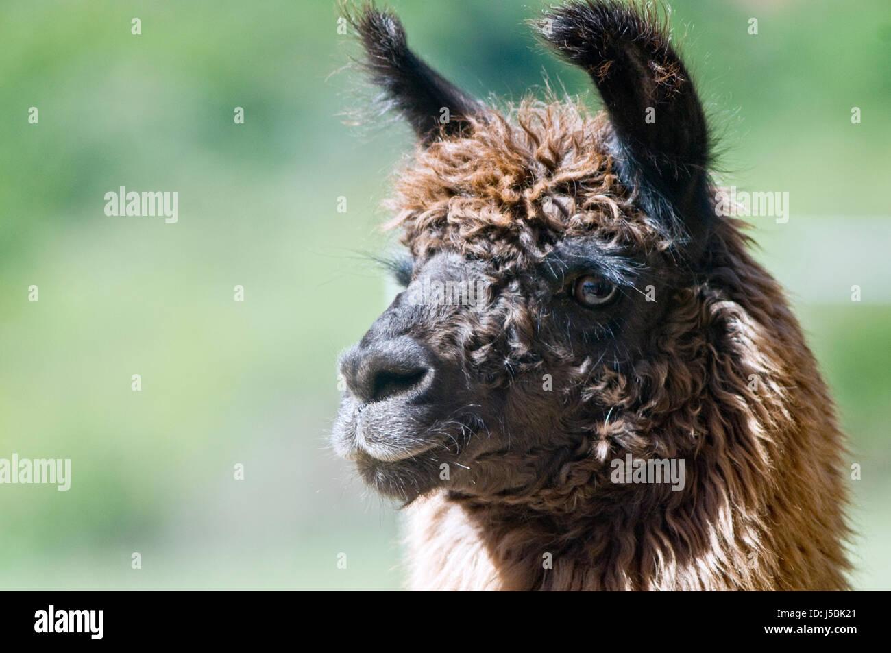 Brown llama portrait - Stock Image
