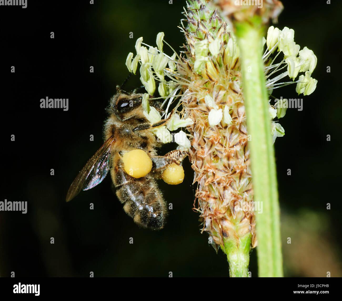 Honey bee (Apis mellifera) with pollen sacs, New South Wales, NSW, Australia - Stock Image