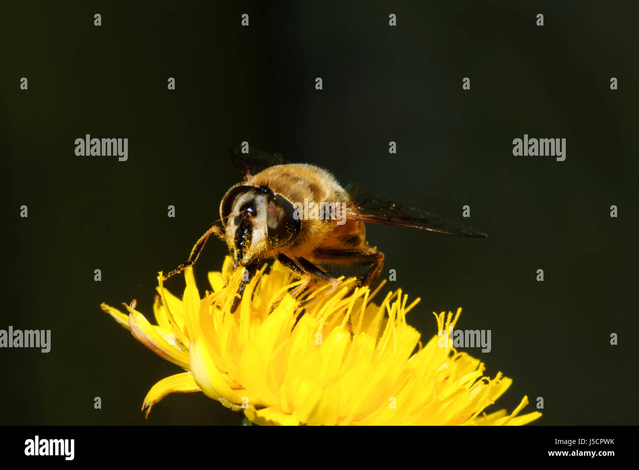 Drone Fly (Eristalis tenax), a bee mimic, is seen pollinating nectar of a yellow flowerhead, New South Wales, NSW, - Stock Image