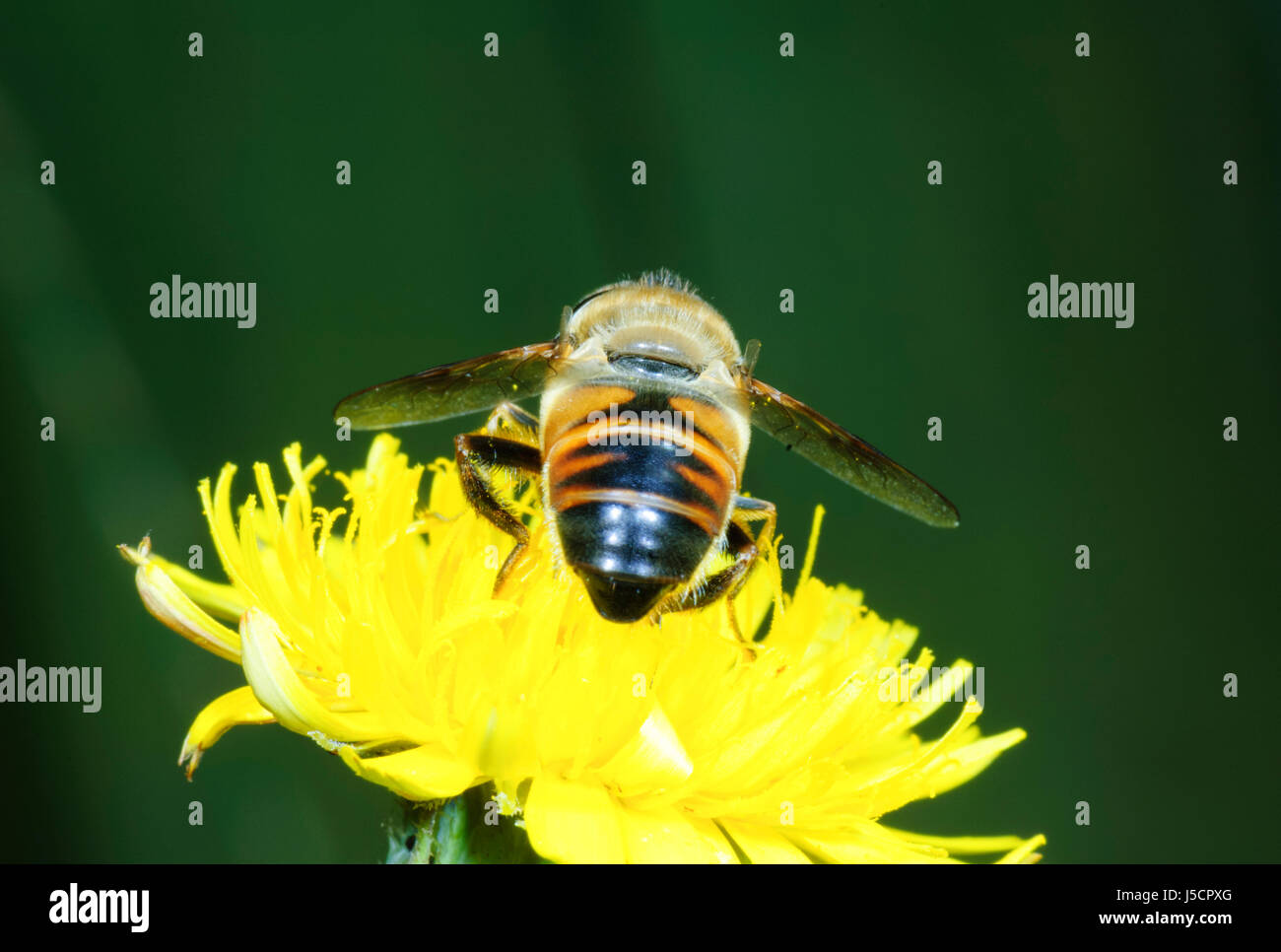 Drone Fly (Eristalis tenax), a bee mimic, seen from behind pollinating nectar of a yellow flowerhead, New South - Stock Image