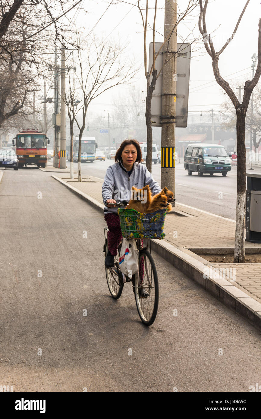 BEIJING, CHINA-CIRCA MARCH 2014:- The lady is taking her pet dogs out for some air, in the smog covered Beijing Stock Photo