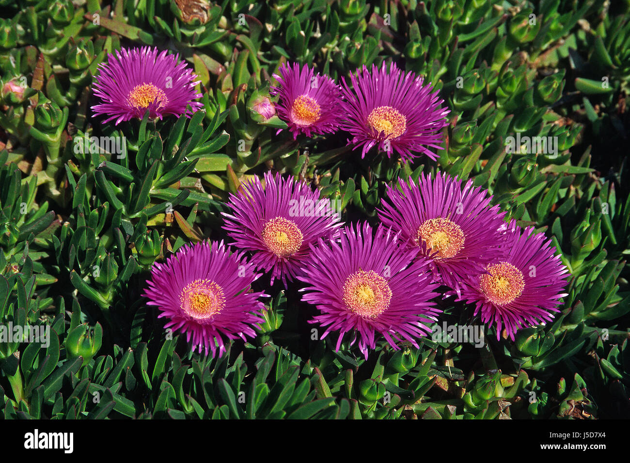 carpobrotus acinaciformis,red ice plant Stock Photo