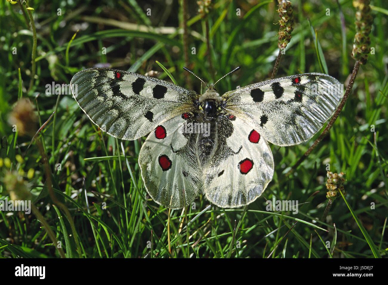 parnassius phoebus,high alpine apollo Stock Photo