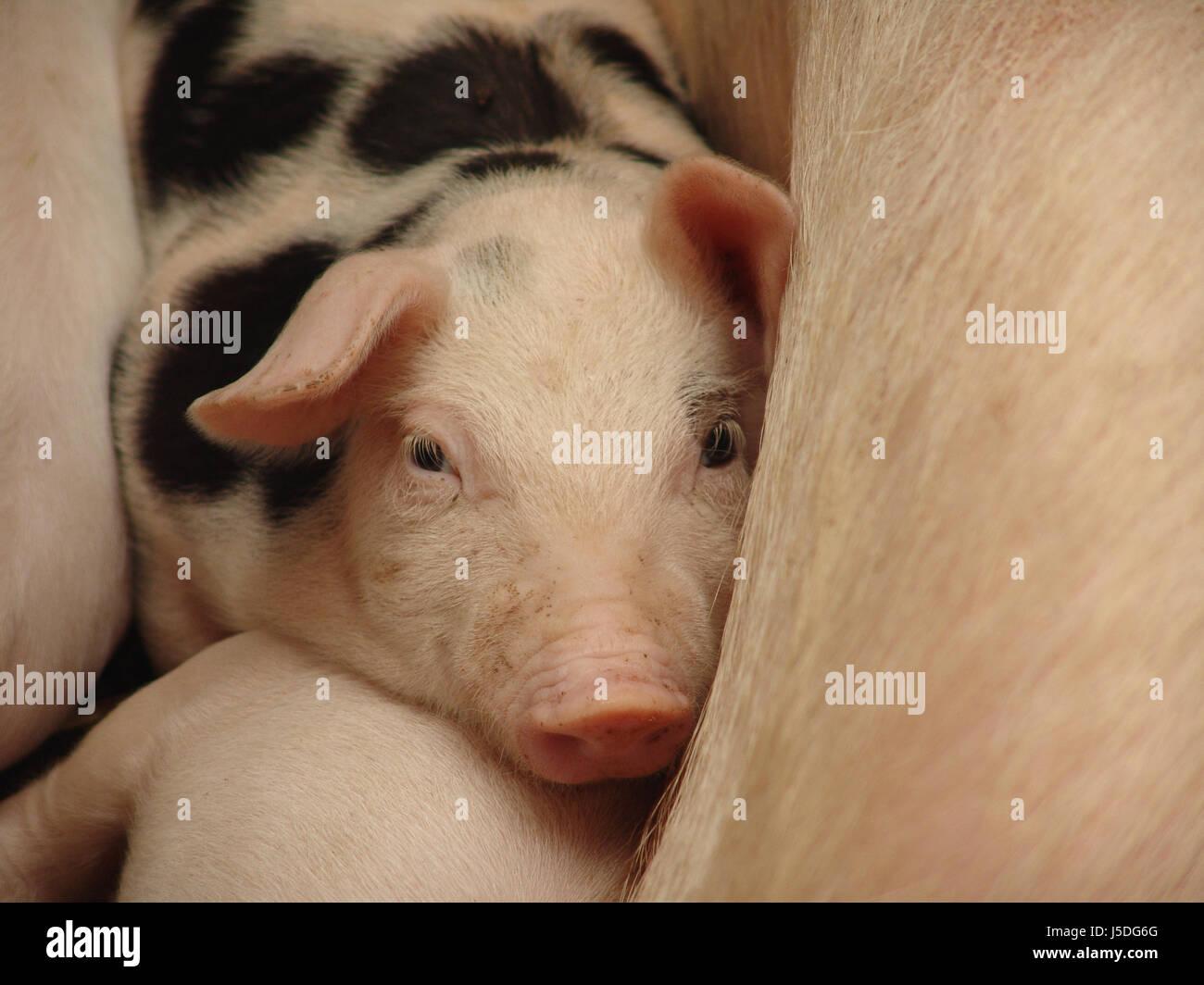 domestic pig - Stock Image