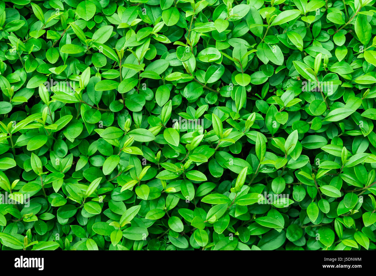 Green foliage background, leaf texture, bush, bright vibrant colors, seamless backdrop template, summer, spring, - Stock Image