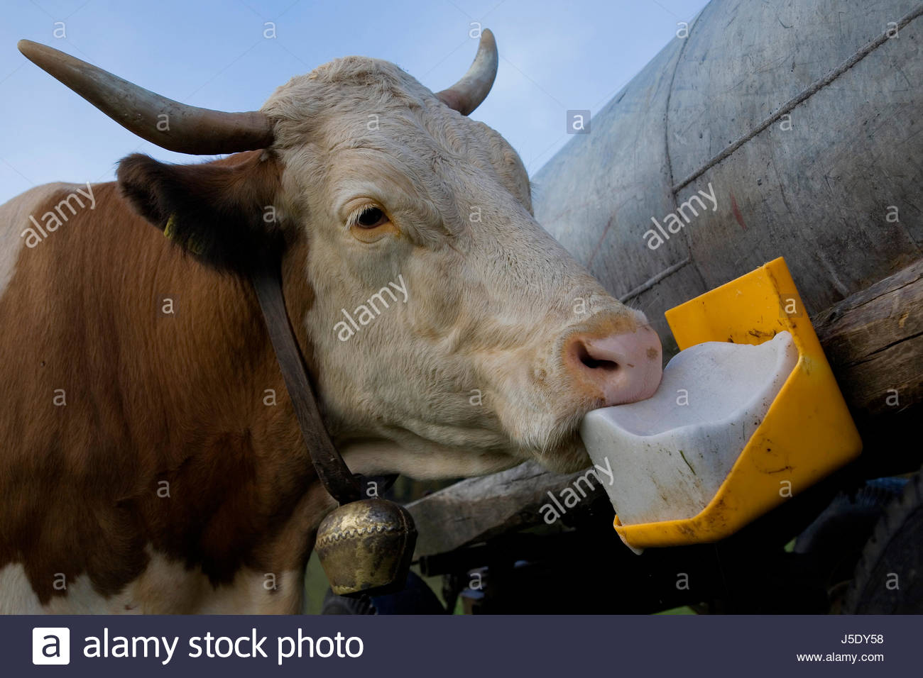 cow with leckstein Stock Photo