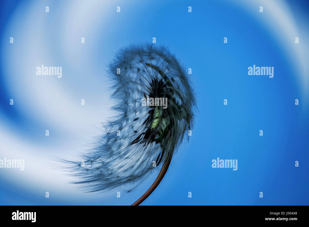 Fine art macro photography: Photoshop processing of a dandelion seed head against blue sky with one cloud - Stock Image