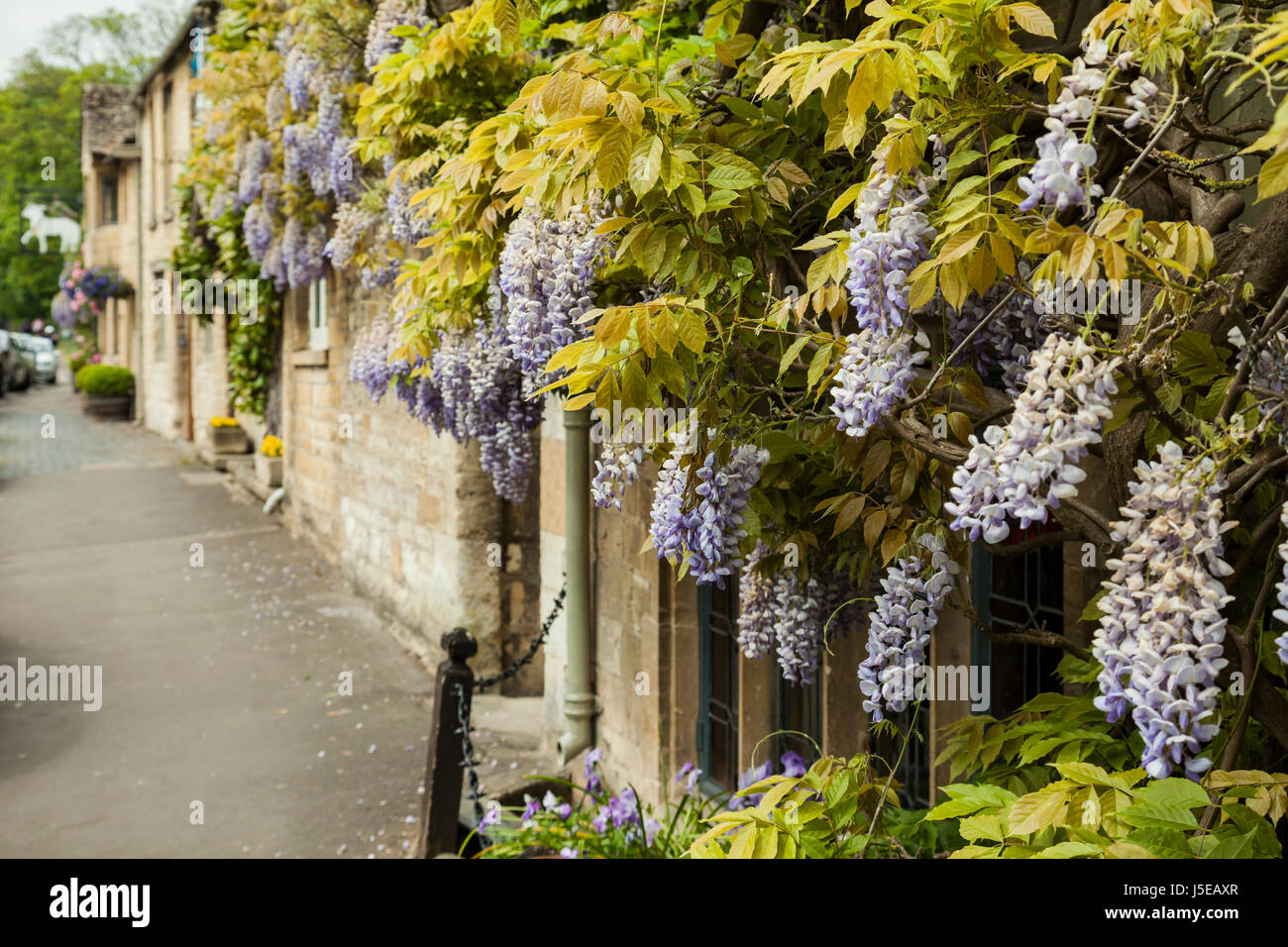 Wisteria flowers adorning a house in the Cotswold town of  Burford, Oxfordshire, England. - Stock Image