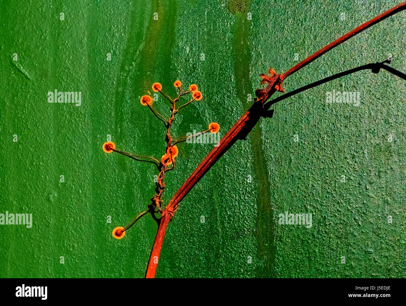 Dried adherent pucks of climbing or creeping wide grape plant  on a green pinch door, between shadows of the surrounding - Stock Image