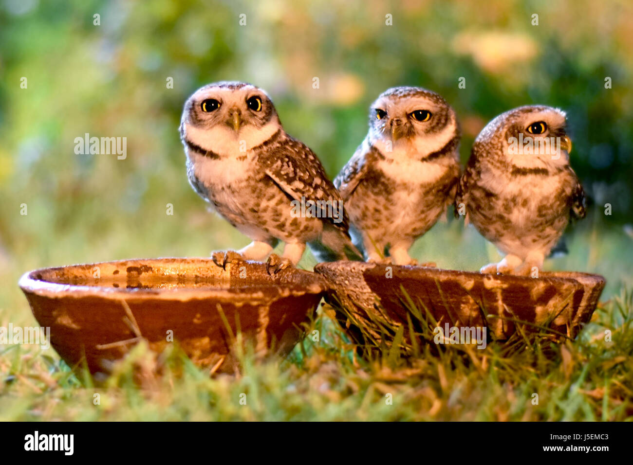 Thristy Owlets in night - Stock Image