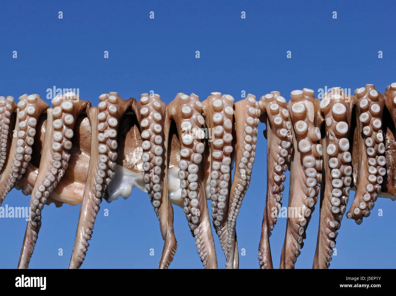 Octopuses in a row hanging to dry - Stock Image